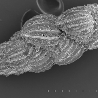 A shell of the foraminifera species Uvigerina peregrina. Read more in Facts.