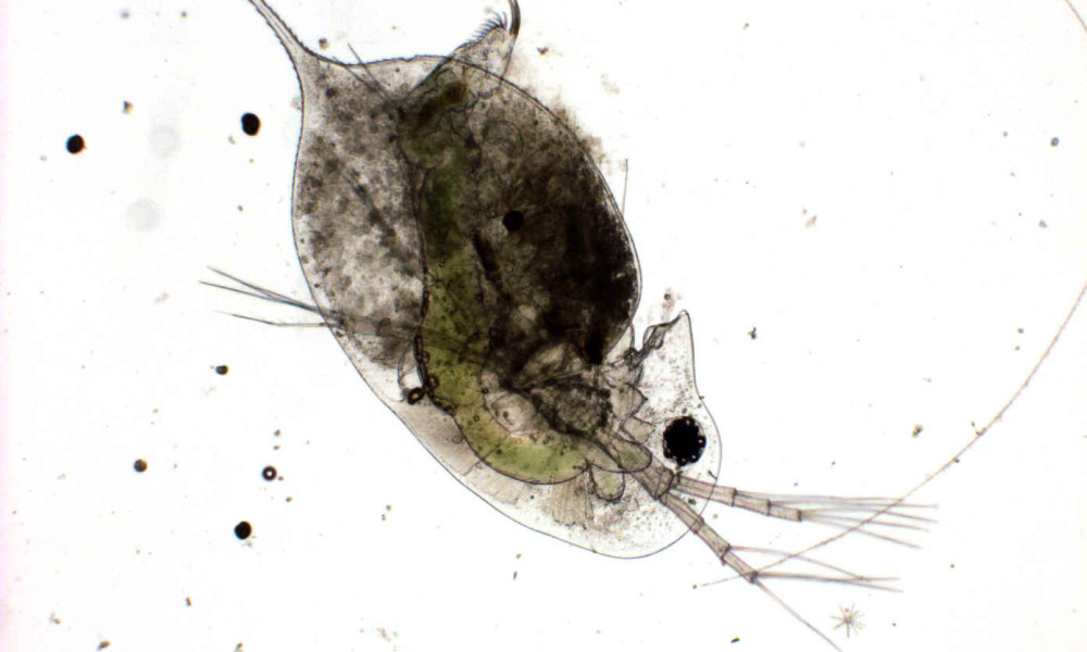 daphnia dissection 2017-2-18 because daphnia exoskeletons are transparent, internal organs such as the beating heart are visible without dissection also, note that if one has eaten green algae, its gut may look green also, note that if one has eaten green algae, its gut may look green.
