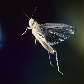 Only grasshopper can fly but with enlarged hind legs they can also jump. They feed mainly on grass and are distributed worldwide wherever vegetation grows.