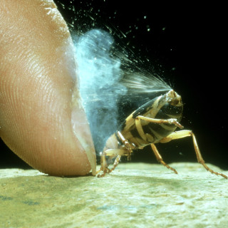 Bombardier beetle (Pheropsophus jessoensis) in defensive posture spraying. Courtesy: www.swedishbiomimetics3000.com