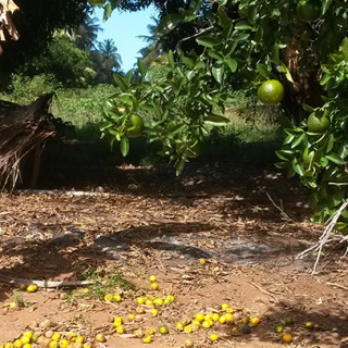 Tangerines in Inhambane (500 kilometres north of Maputo). Tangerines, are difficult to preserve using traditional sun drying methods.