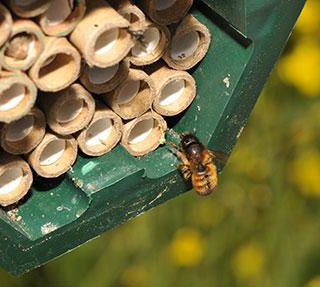 Solitary bee (Osmia bicornis) female returning to the nest, filled with tubes where she builds brood cells. Photo: Morgan Boch