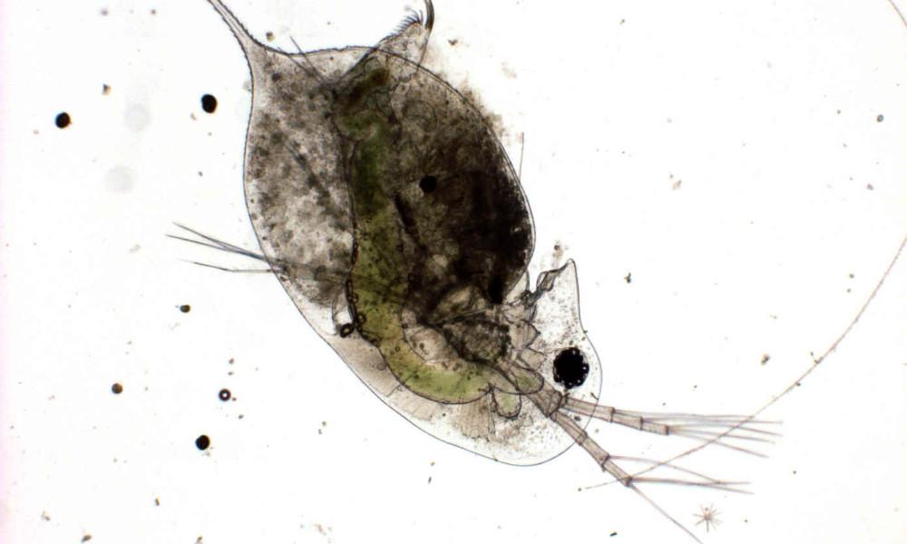 Daphnia magna, a zooplankton