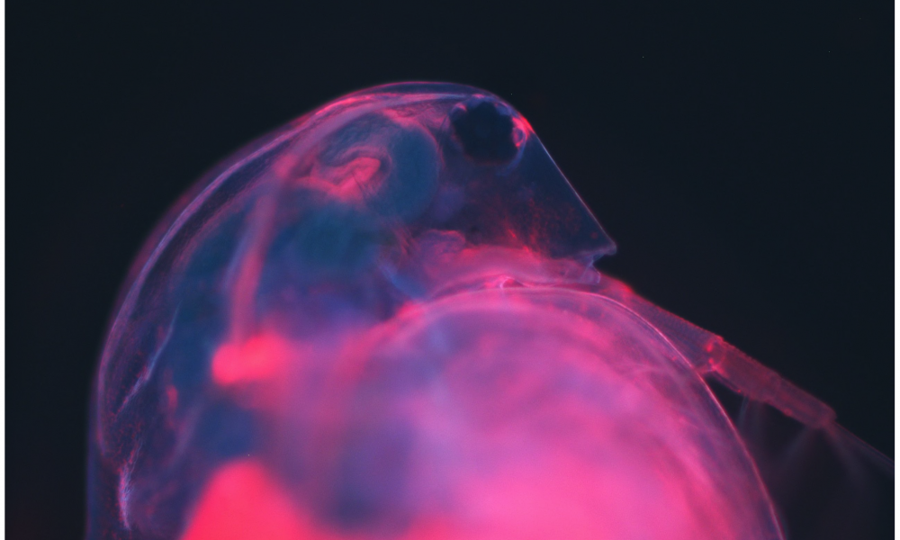 An optical microscope image of the water flea Daphnia magna, which has been marked with red fluorescent quantum dots.