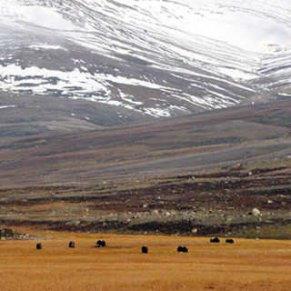 Grazing musk oxen on the Arctic tundra