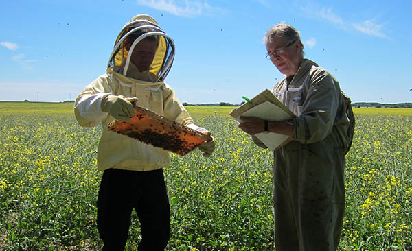 Professor Ingemar Fries from the Swedish University of Agricultural Sciences and field assistant Tomas Carling practice estimating bee strength. Photo Maj Rundlöf