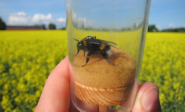 The bumblebee carries a transponder - a small chip. Read more in Facts.