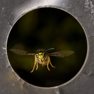 A wasp flies easily through an opening not much wider than its wingspan. Photo: Antoine Beyeler