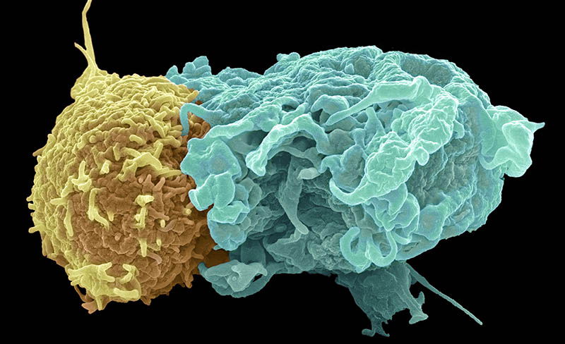 T-lymphocytes recognise a foreign substance, an antigen, on the surface of foreign or infected cells. When the T-lymphocyte and antigen connect, the T-cell releases substances that kill the cell. On a virus-infected host cell, the antigen is made up of an MHC molecule and attendant virus protein.